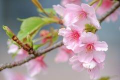 Фотография макроса Сакуры вишневого цвета с предпосылкой нерезкости в Taichung, Тайване стоковая фотография