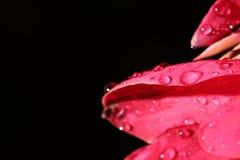 Фотография света ночи макроса тропического розового красного цветка педали Стоковая Фотография RF