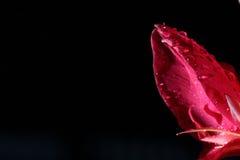 Фотография света ночи макроса тропического розового красного цветка педали Стоковые Фото
