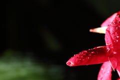 Фотография света ночи макроса тропического розового красного цветка педали Стоковое Изображение RF