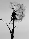 Фотография силуэта одуванчика черно-белая Стоковые Фото
