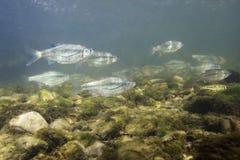 Фотография bipunctatus Alburnoides minnow Riffle подводная стоковая фотография
