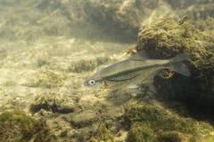 Фотография bipunctatus Alburnoides minnow Riffle подводная стоковое фото rf