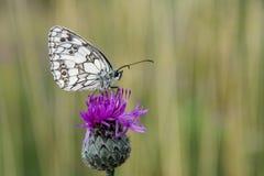 Фотография Makro - бабочка Стоковые Изображения RF