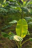 Фотосинтез лист банана Стоковое Изображение