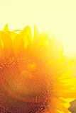 Фотосинтез солнцецвета Стоковые Изображения RF