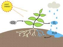 фотосинтез Стоковые Фотографии RF
