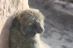 Фотоснимки павиана от различных углов Стоковое Изображение