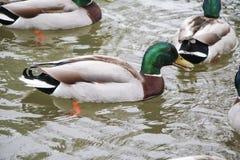 Фотоснимок запаса дневного времени внешний кряквы ducks весной плавать в пруде на падениях Глена Стоковые Изображения RF