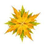 Фотоснимок конца-вверх дерева клена или клёна аранжированного как iso звезды Стоковые Изображения RF