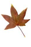 Фотоснимок крупного плана осеннего вянуть дерева клена или дерева клёна Стоковые Изображения