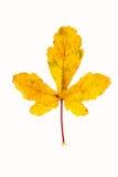 Фотоснимок крупного плана осеннего вянуть дерева клена или дерева клёна Стоковое Фото
