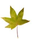Фотоснимок крупного плана осеннего вянуть дерева клена или дерева клёна Стоковые Фото