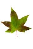 Фотоснимок крупного плана осеннего вянуть дерева клена или дерева клёна Стоковая Фотография