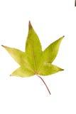 Фотоснимок крупного плана осеннего вянуть дерева клена или дерева клёна Стоковое Изображение RF
