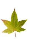 Фотоснимок крупного плана осеннего вянуть дерева клена или дерева клёна Стоковое Изображение