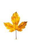 Фотоснимок крупного плана осеннего вянуть дерева клена или дерева клёна Стоковые Изображения RF