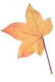 Фотоснимок крупного плана осеннего вянуть дерева клена или дерева клёна Стоковые Фотографии RF
