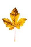 Фотоснимок крупного плана осеннего вянуть дерева клена или дерева клёна Стоковая Фотография RF