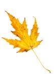 Фотоснимок крупного плана осеннего вянуть дерева клена или дерева клёна Стоковое фото RF