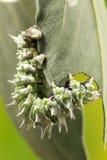 Фотоснимок макроса гусеницы Стоковые Изображения RF
