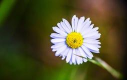 Фотоснимок макроса маленькой маргаритки в траве стоковые фотографии rf