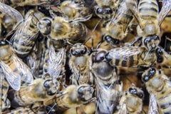 Фотоснимок макроса пчел Танец пчелы меда Пчелы в крапивнице пчелы на сотах Стоковое Изображение RF