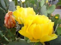 Фотоснимок макроса цветения кактуса шиповатой груши Стоковое Изображение RF