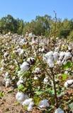 Фотоснимок низкого угла хлопка зацветая в поле Стоковая Фотография