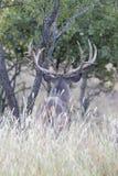 Фотоснимок портрета широкого самца оленя whitetail распространения рассматривая поле Стоковое фото RF