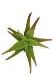 Фотоснимок цветка алоэ Стоковое фото RF