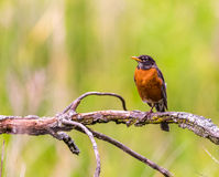 Фото американской птицы робина Стоковые Изображения