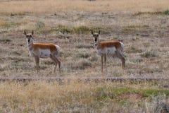 Фото антилопы pronghorn Стоковые Изображения RF