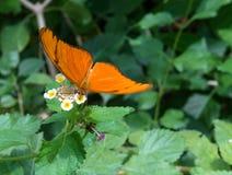 Фото бабочки Джулии стоковые изображения