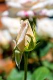 Фото белой розы на зеленой предпосылке листвы Стоковые Фото