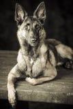 Фото бельгийских mallinois чабана 3 года Стоковая Фотография