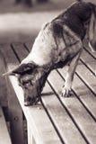 Фото бельгийских mallinois чабана 3 года Стоковое Изображение