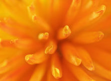 фото близкого цветка померанцовое вверх Стоковое Изображение RF