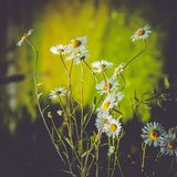 Фото больших белых маргариток в саде Стоковые Изображения
