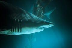 Фото большой акулы подводное в темносиней воде. Стоковое Фото
