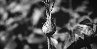 Фото бутона розы зеленого цвета на зеленой красной предпосылке листвы черно-белой Стоковое фото RF