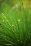 Фото весны бутона цветка лука Стоковое Изображение