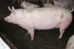 Фото взгляда со стороны красивой могущественной хавроньи свиньи в амбаре Стоковые Фотографии RF