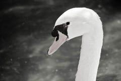 Фото головы лебедя черно-белое стоковая фотография