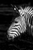 Фото головы зебры Стоковое Изображение RF