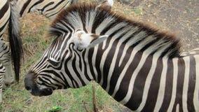 Фото головы зебры Стоковые Изображения RF