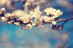 Белые цветки дерева абрикоса Стоковое Изображение