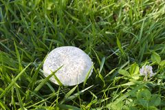 Фото гриба - champignon конца-вверх растя на зеленом законе Стоковое Фото