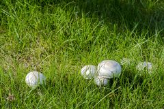 Фото гриба - champignon конца-вверх растя на зеленом законе Стоковое фото RF