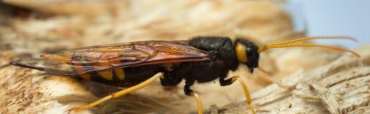 Фото женского гигантского woodwasp, gigas макроса Urocerus на древесине ели Стоковые Изображения RF